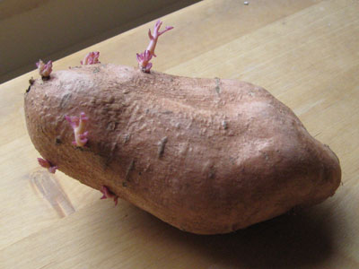 Sweet potato with roots